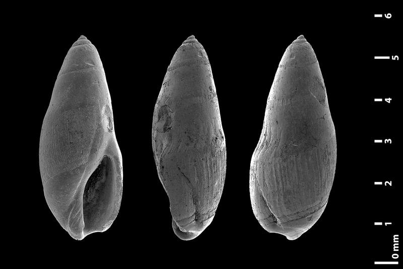 Olividae - † Micrancilla - Le genre, ses espèces, la planche Alibam10
