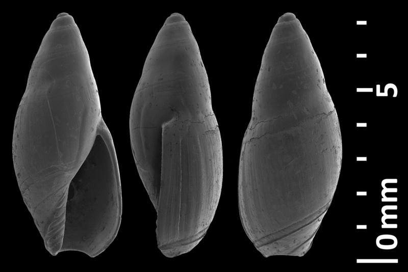 Olividae - † Micrancilla - Le genre, ses espèces, la planche Antipo10