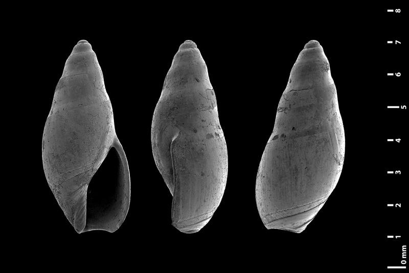 Olividae - † Micrancilla - Le genre, ses espèces, la planche Dilata10