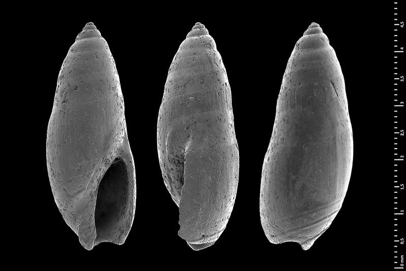 Olividae - † Micrancilla - Le genre, ses espèces, la planche Guanen10