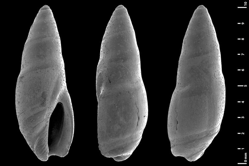 Olividae - † Micrancilla - Le genre, ses espèces, la planche Oesien10