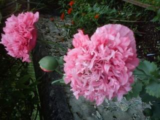 Le jardin en rose ! - Page 2 14664110