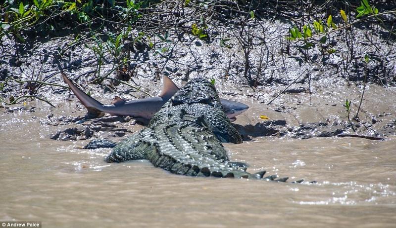 Brutus, Adelaïde river - Australie Brutus13