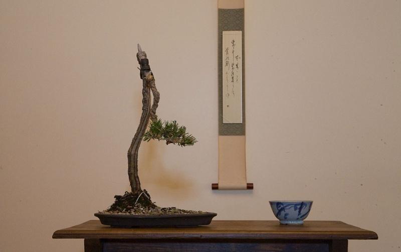 Literati Black Pine from Australia Litera10