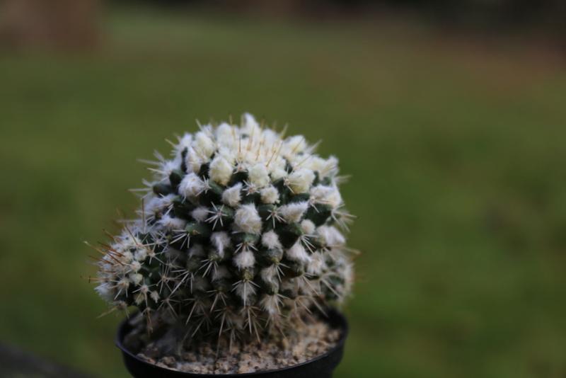 Mammillaria nagliana Img_0110