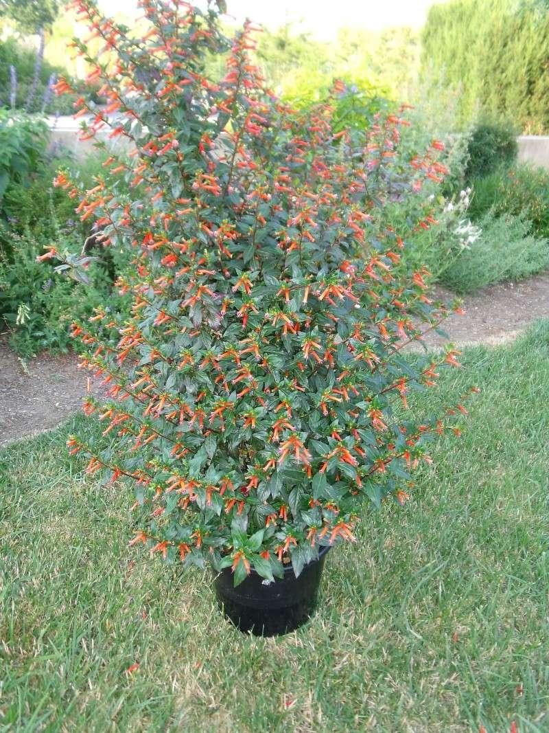 Cultivar de Cuphéa ignéa Dscf1115