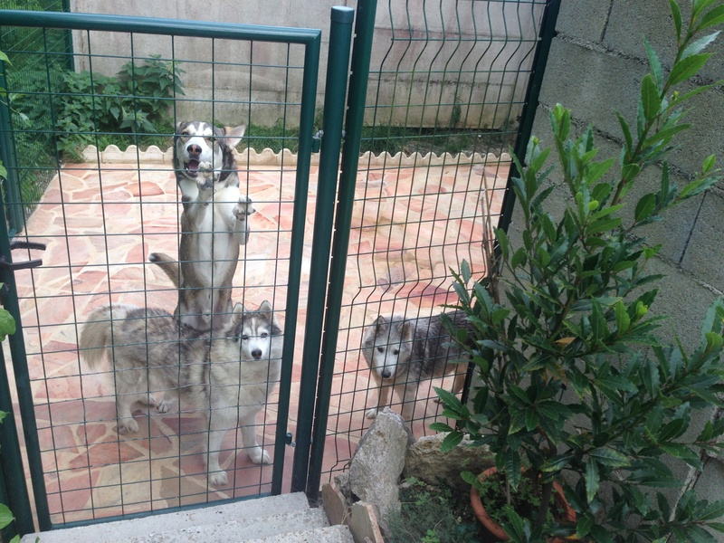 Jingoo renommé Wapi type Husky - Mâle - 5 mois  REFU24 ADOPTE - Page 2 Img_7611