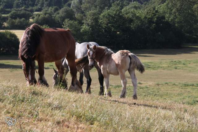 URGENT Ardennaise mare and colt foal - ( SOLD ) 06480610