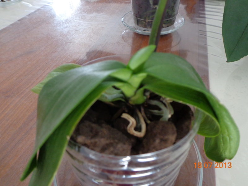 mini Phalaenopsis...opération sauvetage - Page 3 Dsc02110