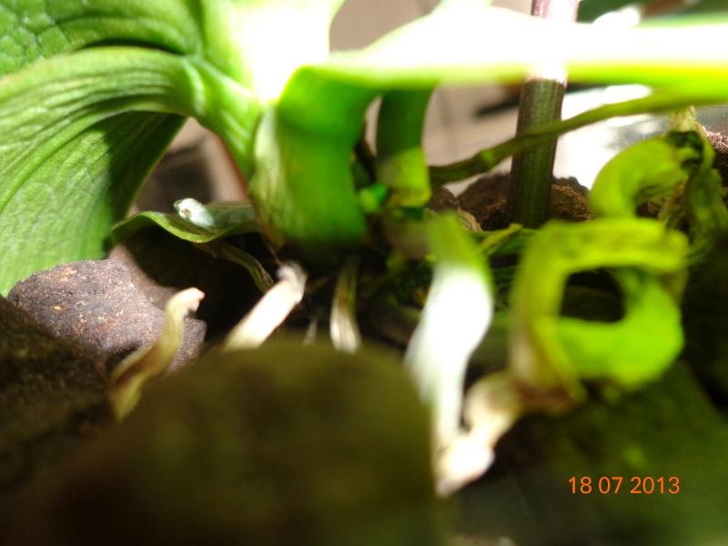 mini Phalaenopsis...opération sauvetage - Page 3 Dsc02111