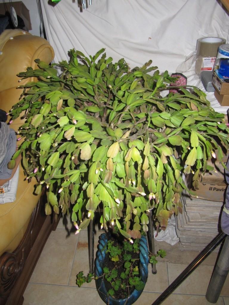 cactus de Noel 00710