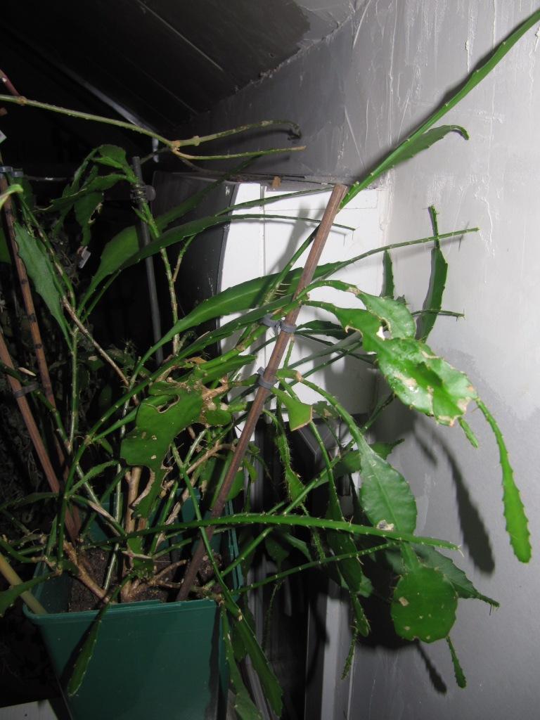 epiphyllum 00713