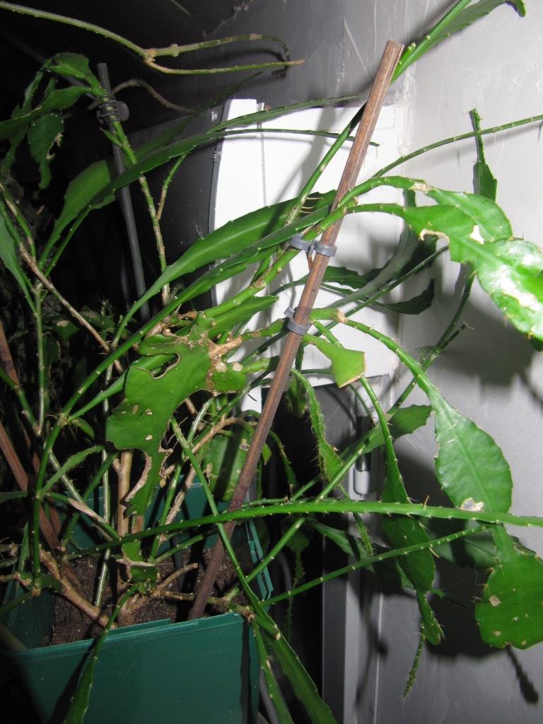 epiphyllum 00814