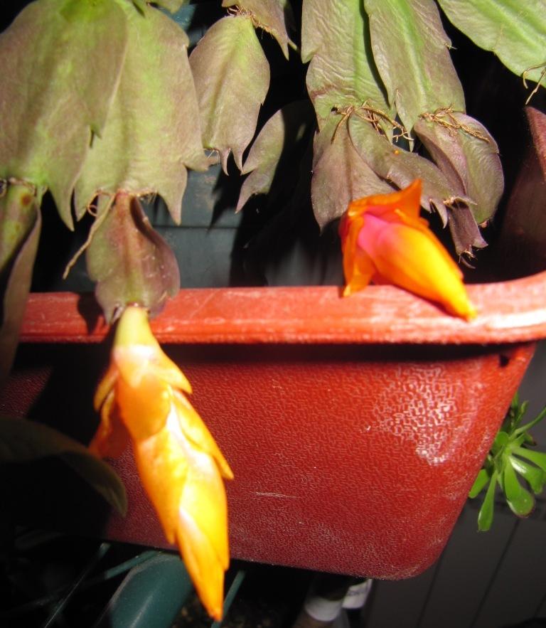 cactus de noel 02510