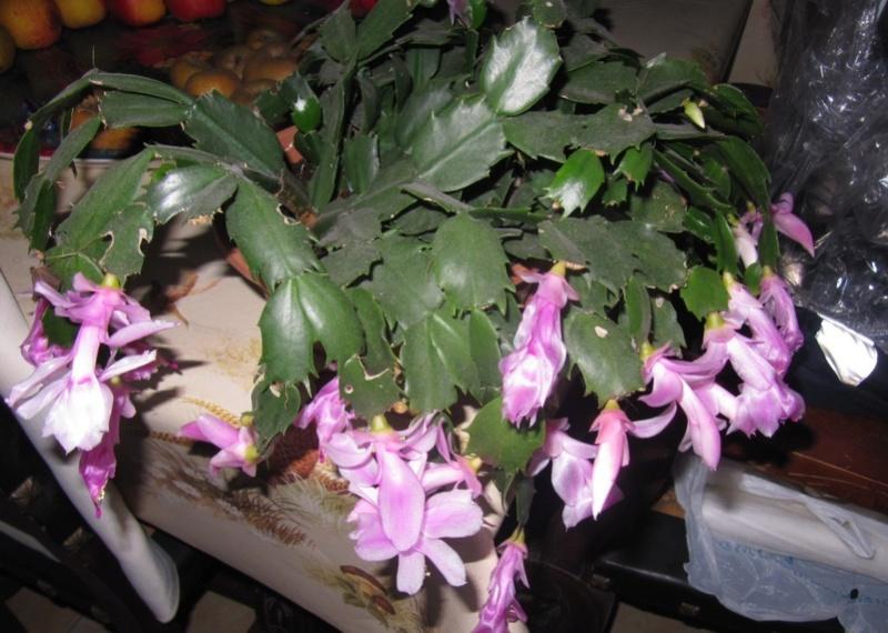 cactus de noel 02611