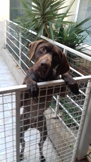 Braque, 4 ans, mâle, Var Braque13