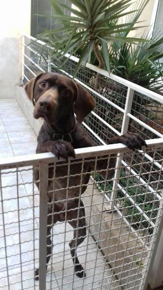 Braque, 4 ans, mâle, Var Braque14