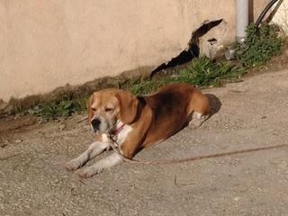 Beagle femelle 8 ans, bouledogue mâle 5 ans, Var Img_3910