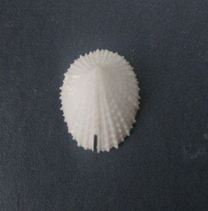 Emarginulinae Emarginula sicula - J.E. Gray, 1825 0309_e10