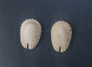 Emarginulinae Emarginula huzardii - Payraudeau, 1826  0492_e10