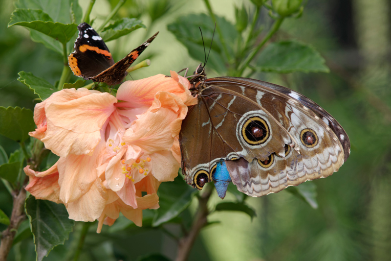 Papillons _mg_9413
