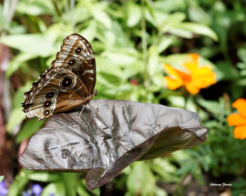 Papillons Papill10