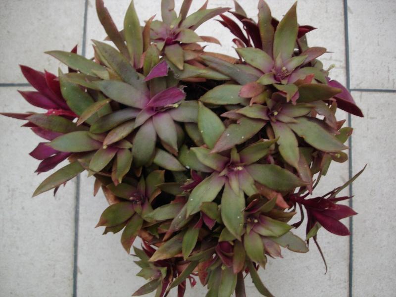 Crassula orbicularis 'Rosularis' [identification] 15235610