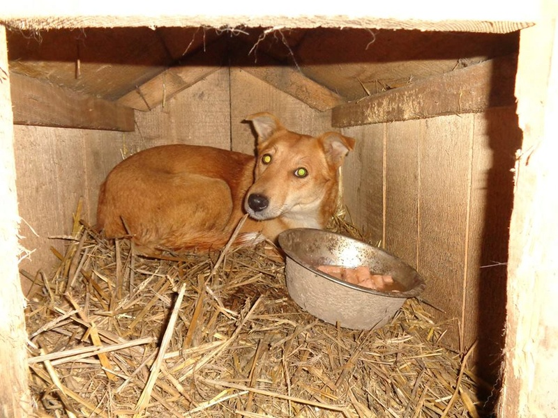 INAYA, femelle berger née en 2014 sauvée de l'equarrissage pour Noel - marrainé par Réglisse -  15823410