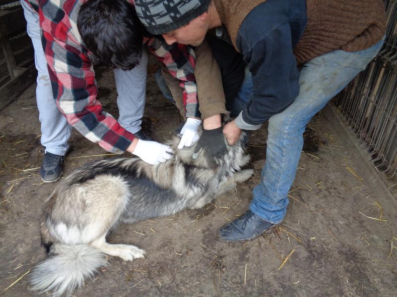 SARRA, croisée berger des Carpates née en 2014 - Parrainée par Dankesori -SC-R-SOS- Dsc06211
