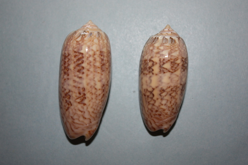 Americoliva contoyensis (Petuch & Sargent, 1986) 10_ame10
