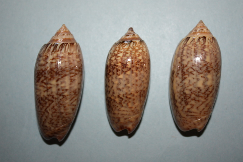 Americoliva bewleyi - Marrat, 1870 12_ame10