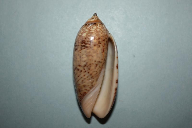 Americoliva bewleyi - Marrat, 1870 13_ame10