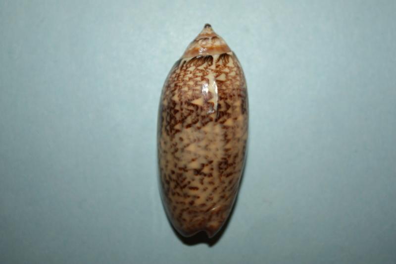 Americoliva bewleyi - Marrat, 1870 14_ame10
