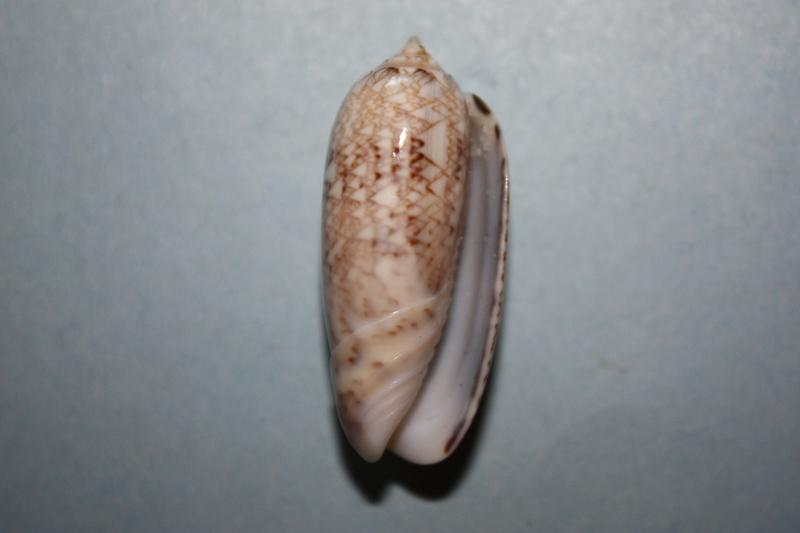 Americoliva circinata jorioi (Petuch, 2013) - Worms = Oliva circinata circinata Marrat, 1871 15_ame10