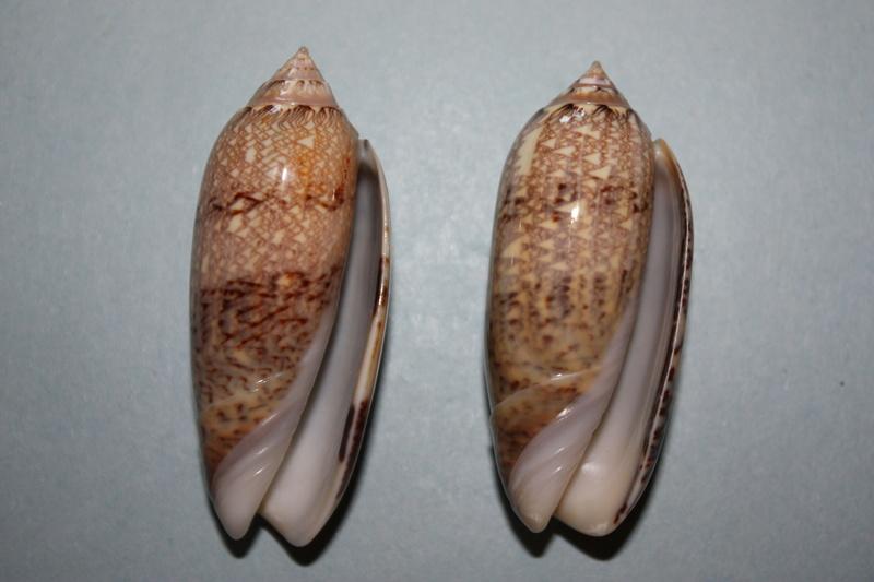 Americoliva circinata circinata (Marrat, 1871) 18_ame10