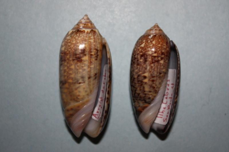 Americoliva circinata f. tostesi (Petuch, E.J, 1987) accept as Americoliva circinata (Marrat, 1871) 19_ame10