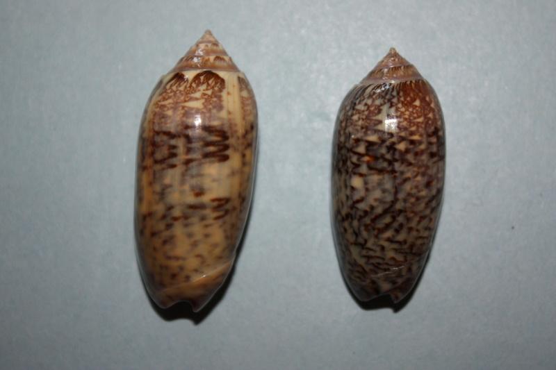Americoliva circinata f. tostesi (Petuch, E.J, 1987) accept as Americoliva circinata (Marrat, 1871) 20_ame10