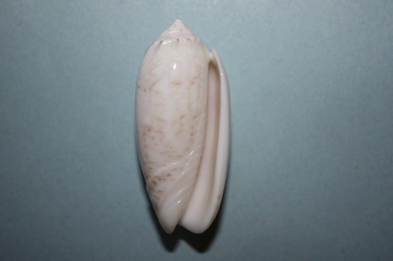 Americoliva bollingi jenseni (Petuch & Sargent, 1986)  - Worms = OLiva nivosa bollingi (Clench, 1934) 3-amer10