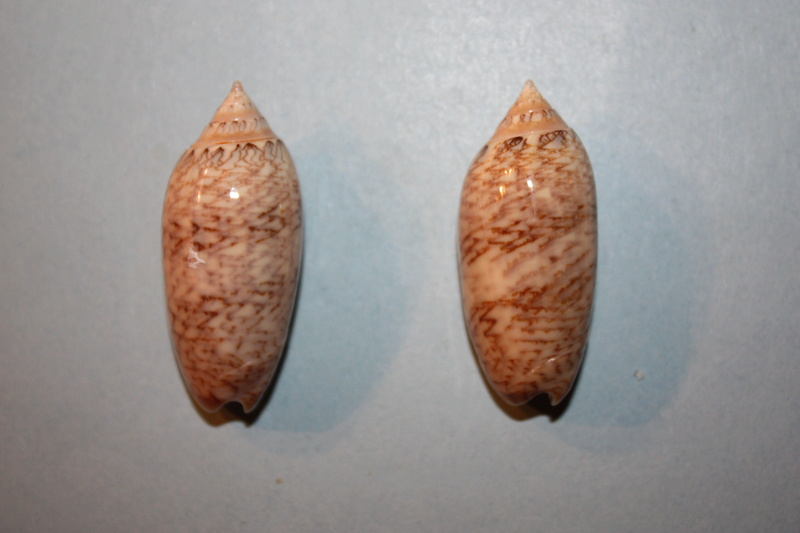 Americoliva barbadensis Petuch & Sargent, 1986 - Worms = Oliva barbadensis Petuch & Sargent, 1986 30-ame10