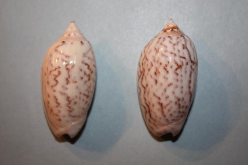Americoliva fulgurator fulgurator (Röding, 1798) - Worms = oliva fulgurator (Röding, 1798)  - Page 2 31_ame10