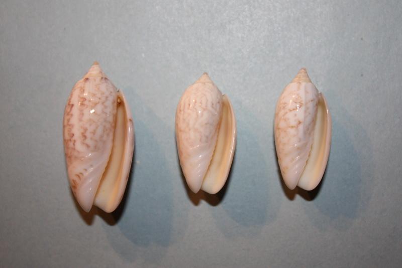 Americoliva fulgurator bullata (Marrat, 1871) - Worms = oliva fulgurator (Röding, 1798)  33-ame10