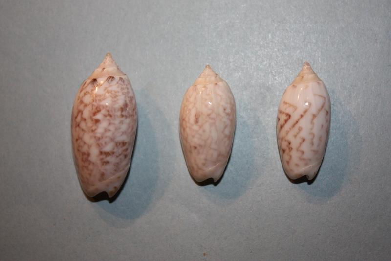 Americoliva fulgurator bullata (Marrat, 1871) - Worms = oliva fulgurator (Röding, 1798)  34-ame10