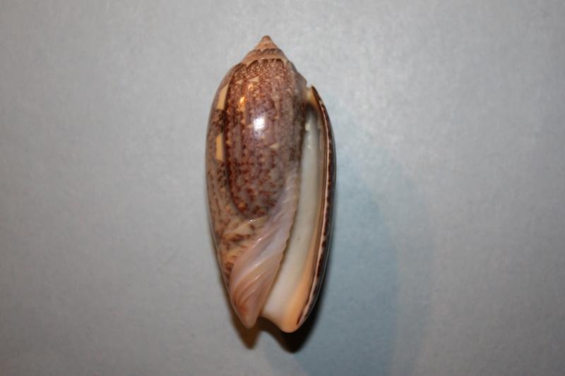 Americoliva tisiphona (Duclos, 1844) 37-ame10