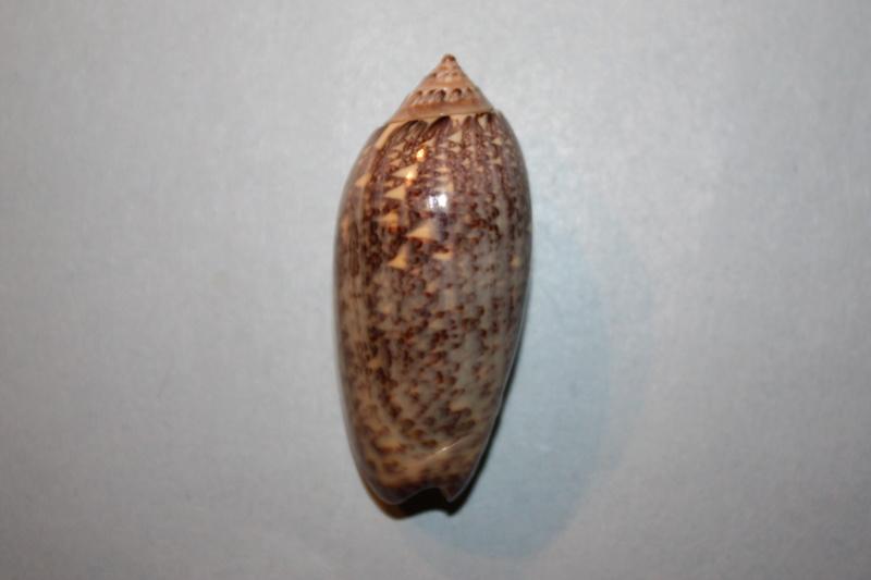 Americoliva tisiphona (Duclos, 1844) 38-ame10
