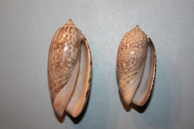Americoliva tisiphona (Duclos, 1844) 39-ame10
