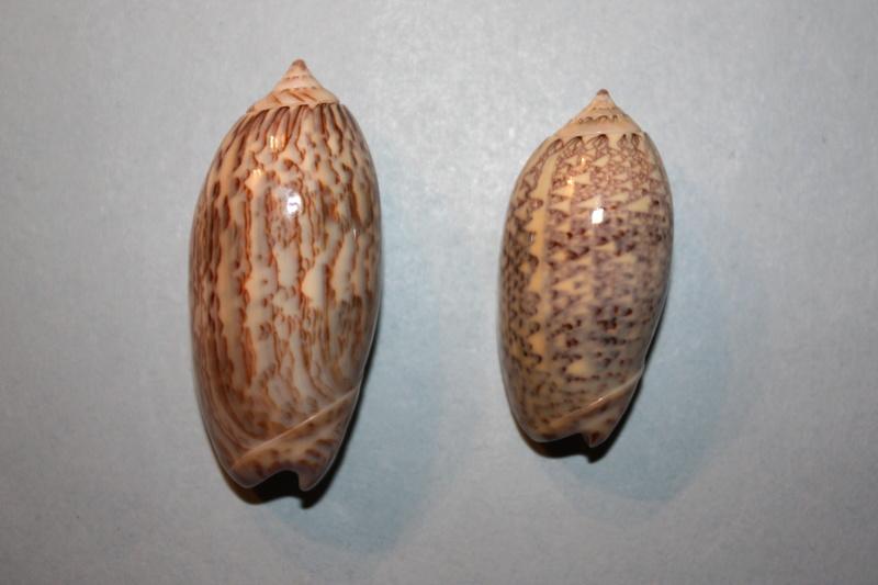 Americoliva tisiphona (Duclos, 1844) 40-ame10