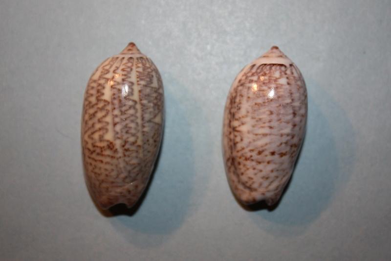Americoliva tisiphona (Duclos, 1844) 41-ame10