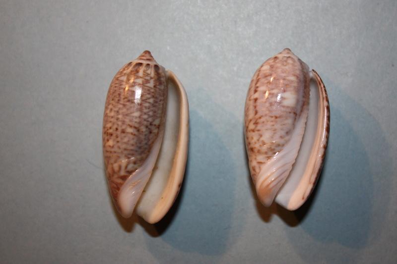 Americoliva tisiphona (Duclos, 1844) 42-ame10