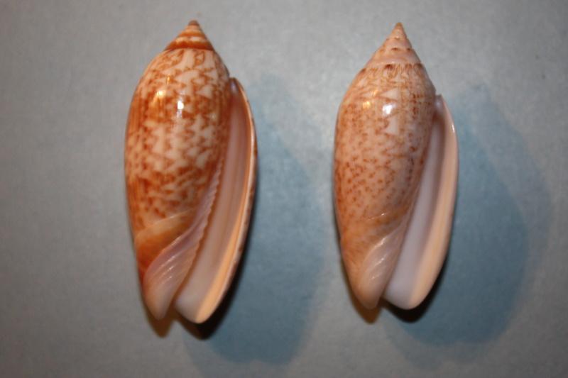 Americoliva tisiphona (Duclos, 1844) 43-ame10