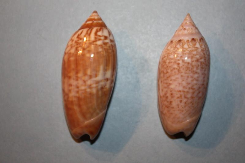 Americoliva tisiphona (Duclos, 1844) 44-ame10